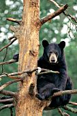 Adult black bear sitting in a tree