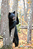 Black bear standing up against a tree in autumn woods