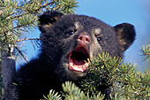 Vocal black bear cub in a pine tree