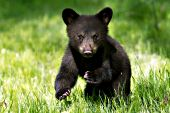 Bear cub (brown phase) running in a spring meadow