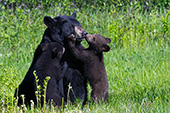 Bear cubs (black & brown) nuzzling their mother
