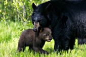 Black bear nuzzling her brown cub