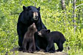 Black bear mother & twin cubs (black & brown)