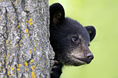 Black bear cub peeking around a tree trunk
