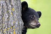 Black bear cub peeking around a tree trunk