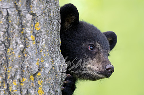 Black bear cub peeking around a tree trunk Minnesota *