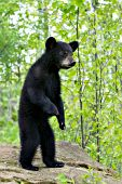 Black bear cub standing up on its hind legs