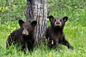 Twin bear cubs (brown phase) in a spring forest