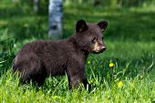 Black bear cub (brown phase) in a sspring meadow