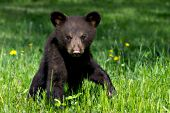 Black bear cub (brown phase) in a spring meadow