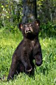 Black bear cub (brown phase) standing in a spring meadow