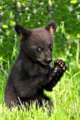 Bear cub (brown phase) chewing on a twig