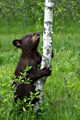 Bear cub (brown phase) standing up against a small birch tree