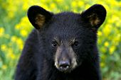 Black bear cub in a meadow of wildflowers