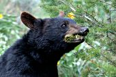Yearling black bear chewing on a pine branch