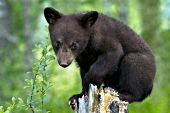 Black bear cub (brown phase) sitting on top of a tree stump