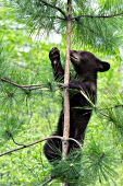 Bear cub (brown phase) climbing a pine tree