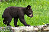 Bear cub (cinnamon phase) walking on a log