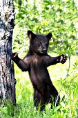 Bear cub (cinnamon phase) standing while reaching for a branch