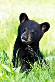 Bear cub playing in a spring meadow