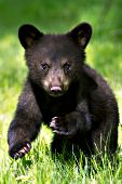Bear cub (cinnamon phase) running in a meadow