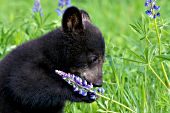 Bear cub playing with lupine in a spring meadow
