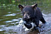 Bear cub running in shallow water