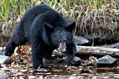 Young black bear on a river bank in autumn