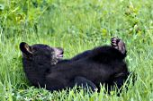 Black bear rolling & playing in the grass