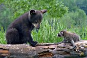 Bear cub & raccoon pup meeting for the first time