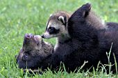 Bear cub & raccoon kit playing together