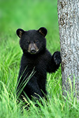 Black bear cub standing up next to an oak tree