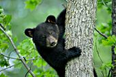 Black bear cub climbing an oak tree