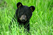Black bear cub in a spring meadow