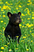 Black bear cub standing up in a meadow of dandelions