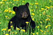 Black bear cub running & playing in a field of dandelions
