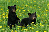 Pair of sibling black bear cubs in a field of dandelions