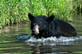 Black bear running in a shallow pond