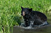 Black bear running & splashing in a shallow pond