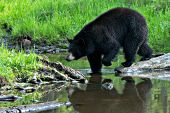 Black bear crossing a shallow creek