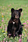 Black bear cub sitting in a field of shooting stars