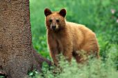 Cinnamon black bear yearling in spring foliage
