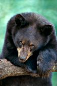 Yearling black bear resting in a tree
