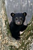 Black bear resting in the fork of a tree