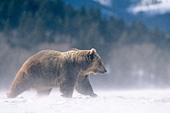 Grizzly bear walking in swirling snow