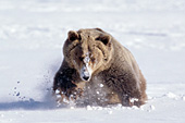 Grizzly bear running in snow