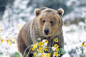Grizzly bear in spring snow storm