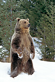Grizzly bear standing on its hind legs