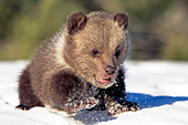 Grizzly cub walking in snow