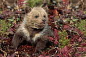 Grizzly cub exploring outside its den